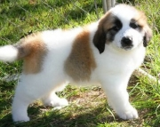 Impressive Saint Bernard Puppies For Sale