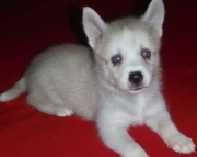 Resplendent Alaskan Klee Kai Puppies For Sale