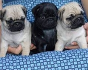 Courageous Pug Puppies For Sale