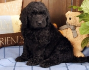 Understanding Newfoundland Puppies For Sale