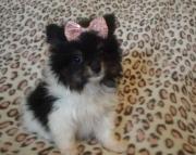 Perceptive Pomeranian Puppies For Sale