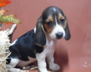 Peaceful Beagle Puppies For Sale