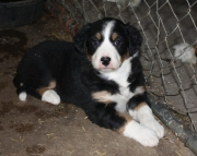 Selfless Bernese Mountain Dog Puppies For Sale