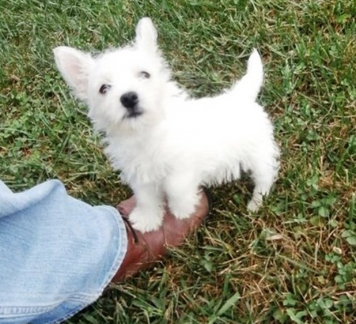 Important West Highland White Terrier For Sale