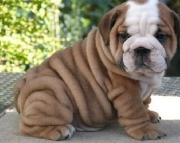 Truthful English Bulldog Puppies For Sale