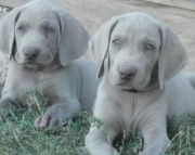 Awesome Weimaraner Puppies For Sale