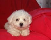 M/F  Bichon Frise Puppies For sale