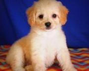 Organized Cockapoo Puppies For Sale