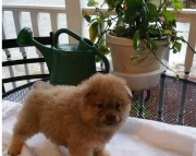 bbjnx chow chow puppies text us at..97825 24173
