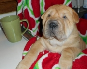 njfjnf chinese shar pei puppies text us at..97825 24173