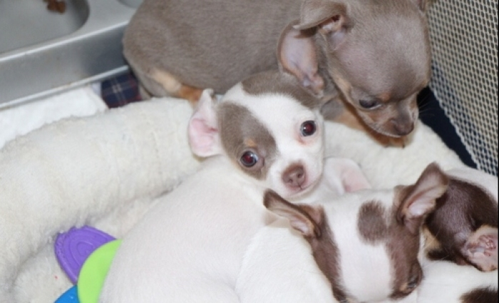 Chihuahua Puppies For Sale Handmade Michigan