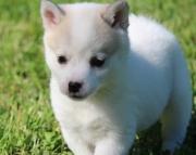 Alaskan Klee Kai Puppies for Sale