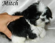 Chinese Imperial Puppies for Sale