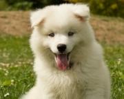 American Eskimo Dog Puppies for Sale