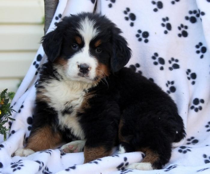 Bernese Mountain Dog Puppies For Sale Handmade Michigan