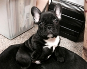 French Bulldog Male  female Puppy available