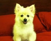 adept Trained Gorgeous Male/Female Pomeranian puppies for sale