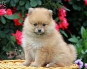 amazing Trained Gorgeous Male/Female Pomeranian puppies for sale.