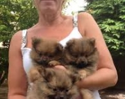accommodating Trained Gorgeous Male/Female Pomeranian puppies for sale