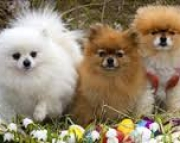 admirable Trained Gorgeous Male/Female Pomeranian puppies for sale