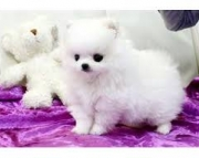 composed Trained Gorgeous Male/Female Pomeranian puppies for sale.