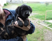Golden Retriever X Labradors puppies Ready Now 505x652x7165
