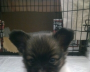 Loving AKC Papillon Female Puppies 505x652x7165