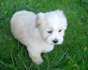 Gorgeous Havenese Puppies 505x652x7165