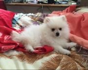 White Pomeranian puppies for sale 505x652x7165
