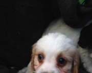 M/F Cavalier King Charles  puppies for sale 505x652x7165