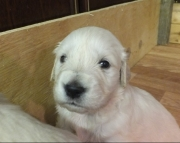 Akc Golden Retriever Puppies for sale 505x652x7165