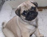 Male and Female Pug Puppies ready 971x231x5532