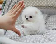 Registered Talented Pomeranian Pups 971x231x5532