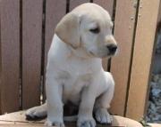 Ojadq AKC Labrador  Puppies 971x231x5532