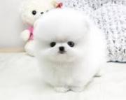 cute Teacup Pomeranian puppies 971x231x5532