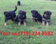 VBI German Shepherd puppies Available