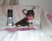 Hjd Tea Cup Chihuahua Pups for Sale