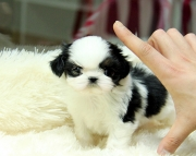 mbnhg Shih Tzu pups for sale