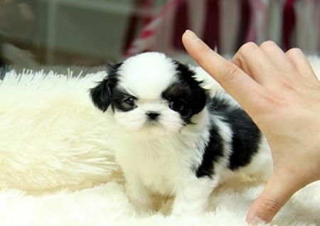 Mbnhg Shih Tzu Pups for Sale