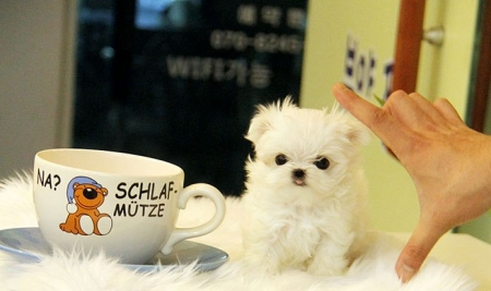 Vf Tea Cup Maltese Pups for Sale