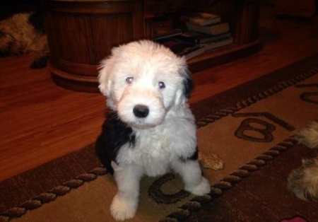 Gadg Old English Sheepdog for Sale