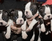 sdaf Boston terrier puppies for sale