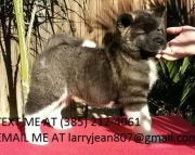 dgs akita puppies for sale