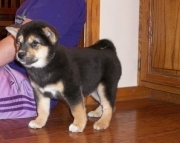 fdd shiba inu puppies for sale