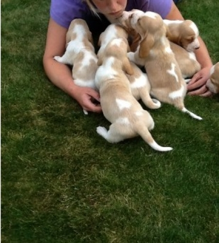 Fds Basset Hound Puppies For Sale