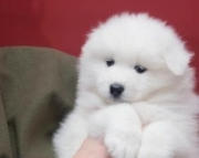 ssf Samoyed puppies for sale