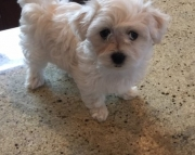 sga Coton De Tulear puppies for sale