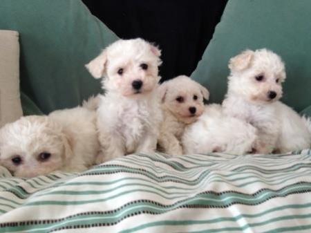 Dga Bichon Frise Puppies For Sale