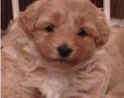 dfss Malti Poo puppies for sale