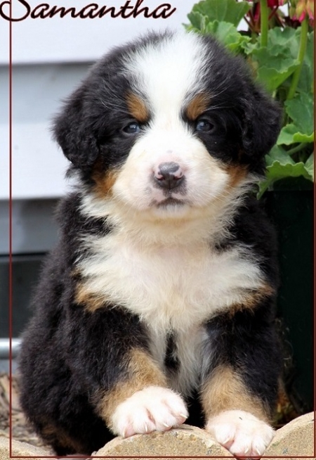 Sdfz Bernese Mountain Dog Puppies For Sale